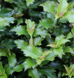 Hochstamm Stechpalme Ilex Little Rascal 80-100cm - Ilex meserveae