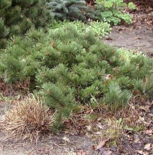 Flache Zwerg Kiefer Krauskopf 25-30cm - Pinus mugo