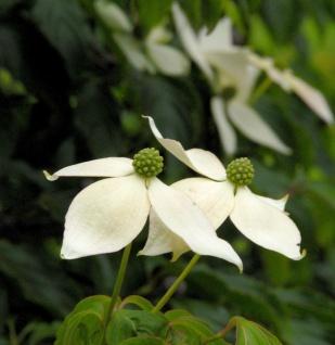 Japanischer Blumenhartriegel 100-125cm - Cornus kousa