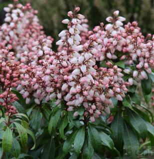 Schattenglöckchen Lavendelheide Bonfire 15-20cm - Pieris japonica