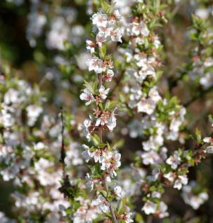 Zier Filzkirsche 60-80cm - Prunus tomemtosa