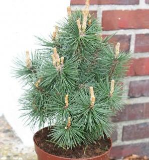 Kegel Bergkiefer Columbo 60-80cm - Pinus mugo