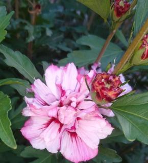 Hochstamm Garteneibisch Miss Silvia 80-100cm - Hibiscus
