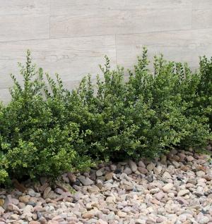 Japanische Zwerg Stechpalme Green Lustre 30-40cm - Ilex crenata
