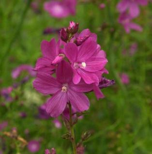 Lila Stockrose - großer Topf - Alcea rosea