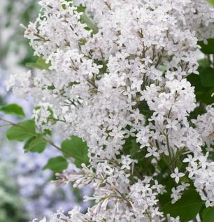 Zwergflieder Flowerfesta®White 80-100cm - Syringa