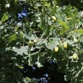 Kompakte Stiel Eiche 50-60cm - Quercus robur