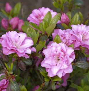 Japanische Azalee Rosinetta® 40-50cm - Rhododendron obtusum