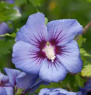Garteneibisch Marina 100-125cm - Hibiscus