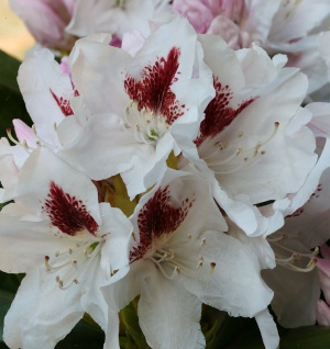 INKARHO - Großblumige Rhododendron Herbstgruß 25-30cm - Alpenrose