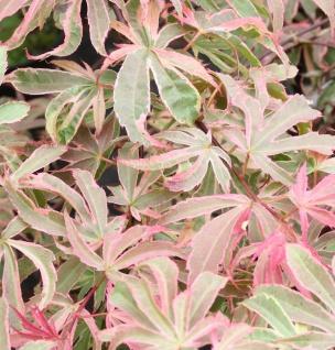 Hochstamm Fächerahorn Shirazz® 40-60cm - Acer palmatum
