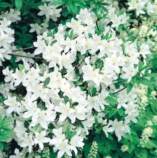 Japanische Azalee Palestrina 15-20cm - Rhododendron obtusum - Zwerg Alpenrose