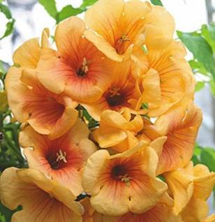 Hochstamm Trompetenblume Golden Trumpet 80-100cm - Campsis grandiflora