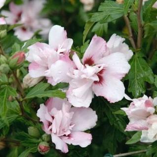Hochstamm Garteneibisch Lady Stanley 80-100cm - Hibiscus