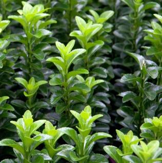 Kugelschnitt Japanspindel Green Wonder 30-40cm - Euonymus japonicus