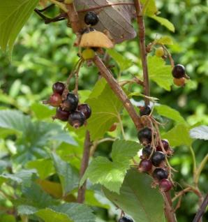 Schwarze Johannisbeere Titania 30-40cm - Ribes nigrum