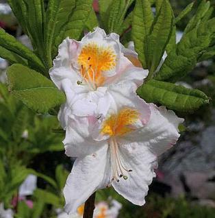 Azalee Möwe 50-60cm - Rhododendron luteum - Alpenrose