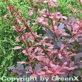 Beberitze Rose Glow 20-30cm - Berberis thunbergii