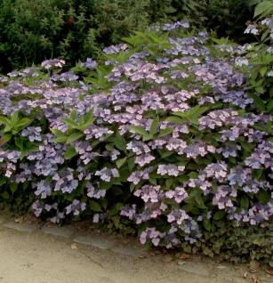 Teller Hortensie Koreana 40-60cm - Hydrangea serrata