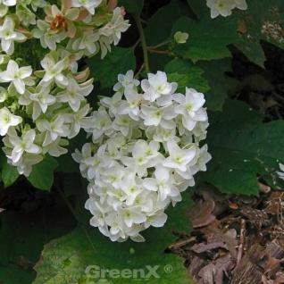 Eichenblättrige Hortensie Snow Giant 60-80cm - Hydrangea quercifolia