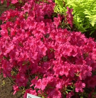 Japanische Azalee Georg Arends 20-25cm - Rhododendron obtusum - Zwerg Alpenrose