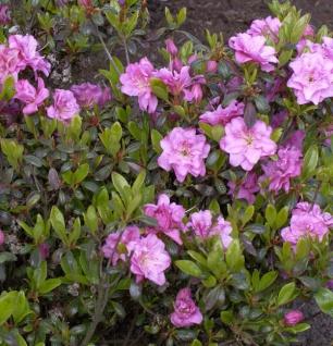 Japanische Azalee Rosebud 20-25cm - Rhododendron obtusum - Zwerg Alpenrose
