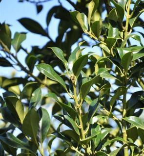 Garten Stechpalme Ilex 100-125cm - ilex aquifolium