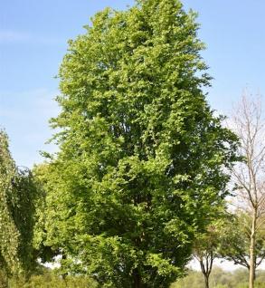 Säulen Rotbuche Dawyck 60-80cm - Fagus sylvatica
