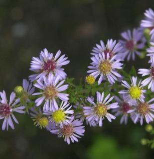 Ruten Aster Lovely - Aster vimineus