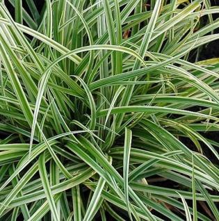 Brokat Segge Silver Sceptre - großer Topf - Carex dolichostachya