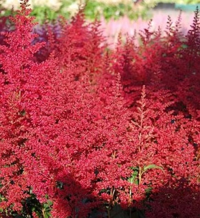 Prachtspiere Red Sentinel - Astilbe japonica