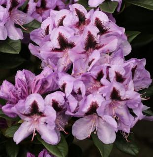 INKARHO - Großblumige Rhododendron Christiane Herzog 40-50cm - Alpenrose