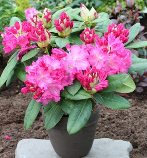 Großblumige Rhododendron Germania 50-60cm - Alpenrose