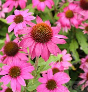 Sonnenhut Pow Wow Wild Berry - Echinacea purpurea