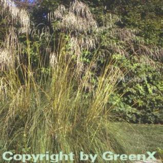 Bogen Liebesgras - großer Topf - Eragrostis curvula