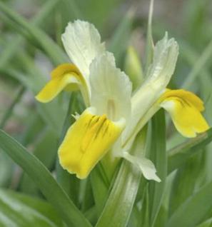 Sibirische Wieseniris Butter and Sugar - Iris sibirica