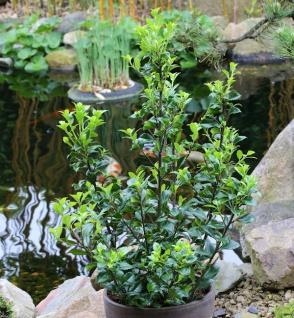 Stechpalme Ilex Heckenstar® 60-80cm - Ilex meserveae