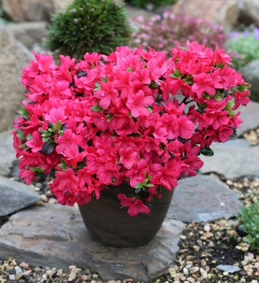 Japanische Azalee Signalglühen 20-25cm - Rhododendron obtusum - Zwerg Alpenrose