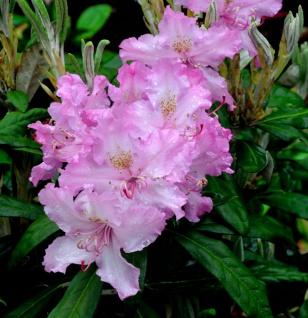 Großblumige Rhododendron Rosa Millenium 40-50cm - Alpenrose