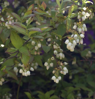 Heidelbeere Herma 30-40cm - Vaccinium corymbosum
