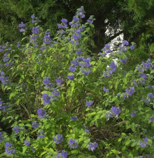 Bartblume Blauer Spatz® 30-40cm - aryopteris clandonensis