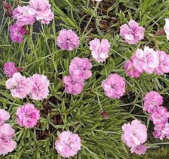 Pfingstnelke Blaureif - Dianthus gratianopolitanus