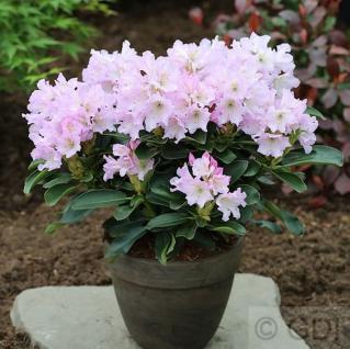 INKARHO - Großblumige Rhododendron Dufthecke Rosa® 40-50cm - Alpenrose