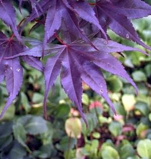 Fächer Ahorn Black Lace 50-60cm - Acer palmatum