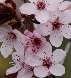 Hochstamm Blutpflaume Spring Glory 80-100cm - Prunus cerasifera