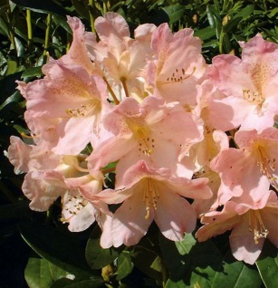 Rhododendron Percy Wiseman 30-40cm - Alpenrose