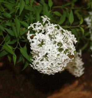 Weißer Persische Flieder 100-125cm - Syringa persica