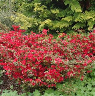 Japanische Azalee Kazuko 20-25cm - Rhododendron obtusum Zwerg Alpenrose