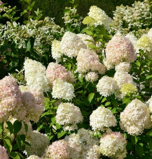 Rispenhortensie Touch of Pink®80-100cm - Hydrangea paniculata