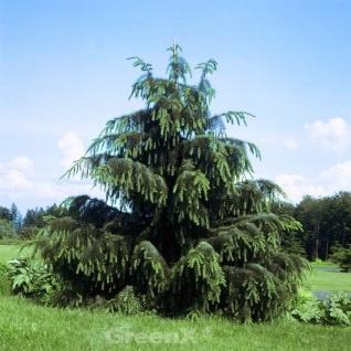 Mähnenfichte 80-100cm - Picea breweriana